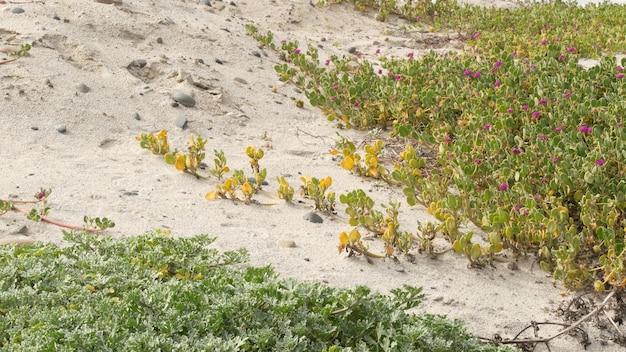 Planta trepadeira na praia arenosa do oceano pacífico, costa da califórnia, eua. areia, pequenas flores, pedras e vegetação à beira-mar. flora botânica natural em encinitas, onde as pessoas restauram o ecossistema costeiro.