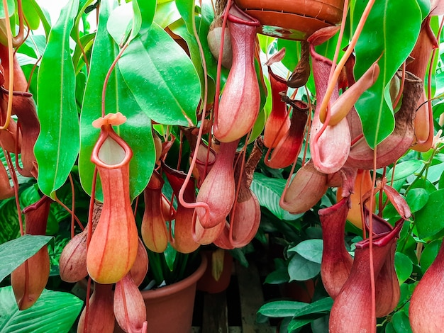 Planta tropical nepenthes