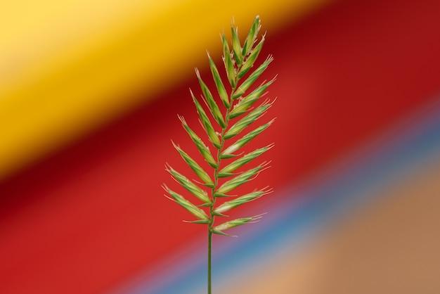 Planta verde-amarelo agropyron cristatum em um fundo amarelo-vermelho desfocado