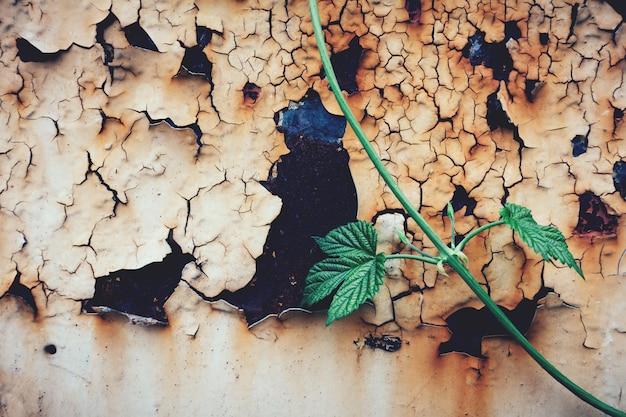 Planta verde e pintura de rachamento em uma porta oxidada.