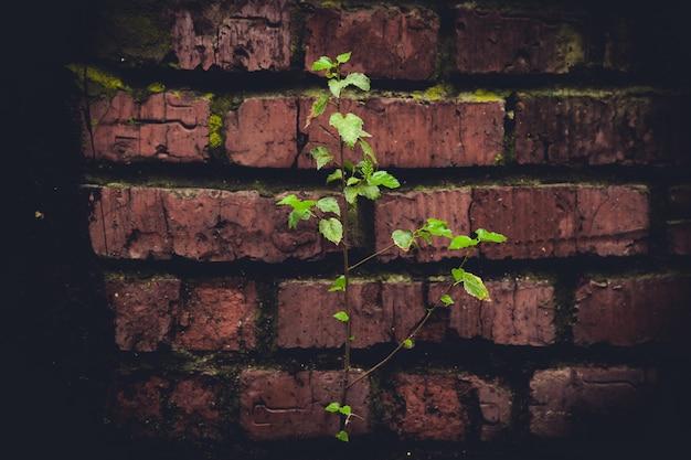 Planta verde no fundo de uma velha parede de tijolos