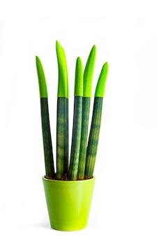 Planta verde sansevieria em uma panela de cerâmica no fundo branco, com espaço de cópia para o seu texto. papel de parede. plantas de interior para a saúde