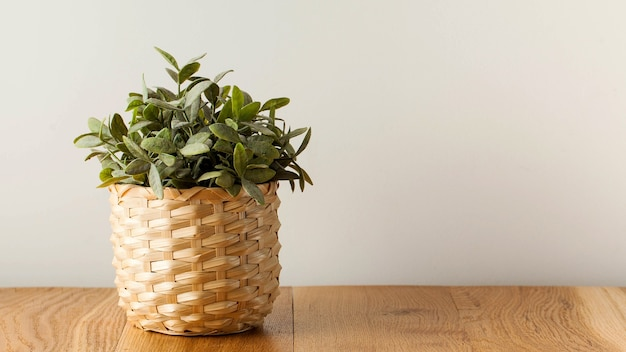 Planta verde sansevieria trifasciata em uma panela de barro sobre uma mesa de madeira. conceito de plantas de interior, estilo escandinavo no interior