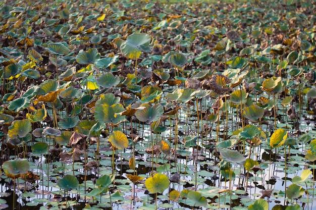 Plantação da flor de lotus que recolhe na manhã, tailândia.