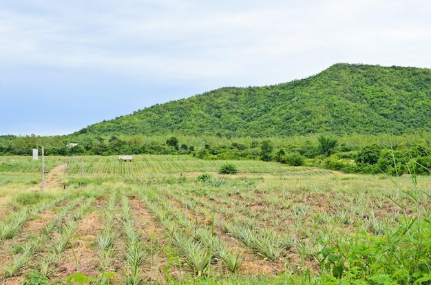 Plantação de abacaxi em terreno montanhoso, tailândia