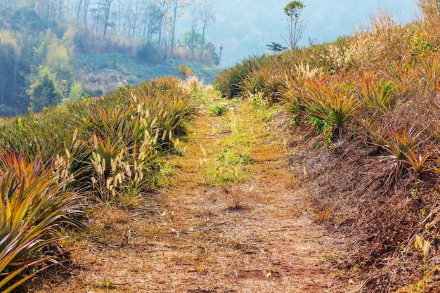 Plantação de abacaxi no norte da tailândia