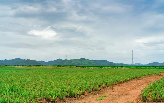 Plantação de abacaxi. paisagem fazenda de abacaxi e montanha. cultivo de plantas. abacaxi crescente na fazenda orgânica. indústria agrícola.