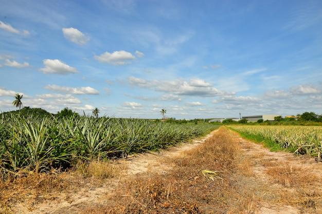 Plantação de abacaxi tropical e o fundo do céu azul