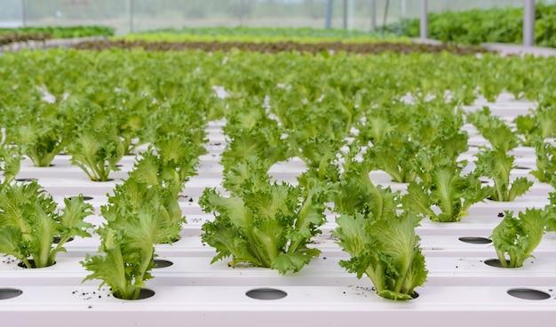Plantação de alface orgânica hidropônica fillie iceburg