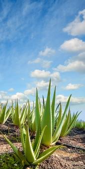 Plantação de aloe vera em fuerteventura, ilhas canárias
