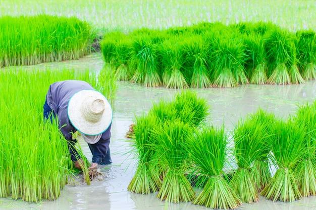 Plantação de arroz de agricultores de tailândia trabalhando