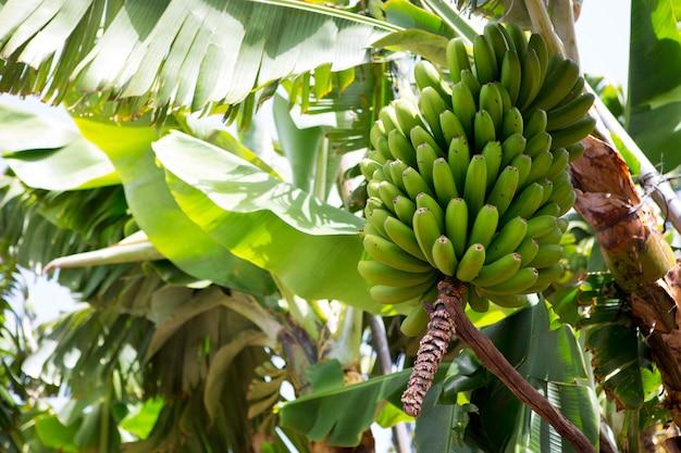 Plantação de banana das canárias platano em la palma