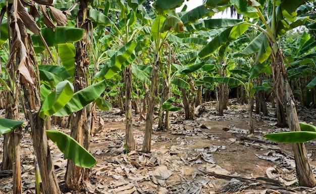 Plantação de bananeiras