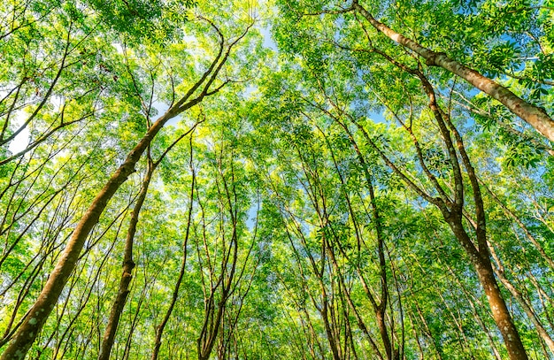 Plantação de borracha de látex ou seringueira no sul da tailândia
