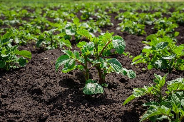 Plantação de brotos de batata jovens em um campo com solo preto