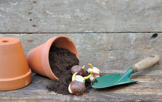 Plantação de bulbos de tulipa