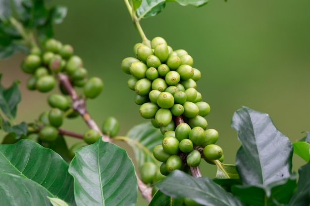 Plantação de café, colheita de café