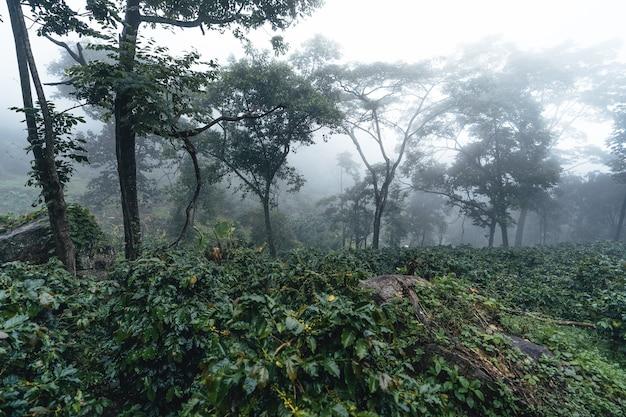 Plantação de café na floresta enevoada, planta de café e grãos de café crus