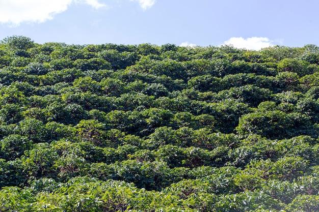 Plantação de café verde