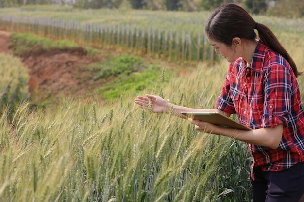 Plantação de campo de colheita de cevada de agricultor que verifica a qualidade de novas variedades de cevada pelo conceito moderno da tecnologia da agricultura da tabuleta.