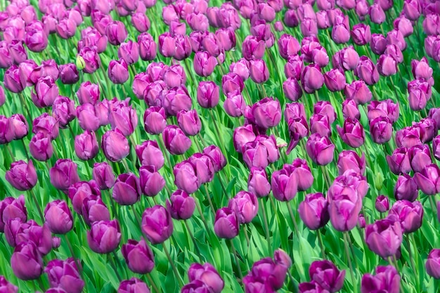 Plantação de campo de tulipa linda.