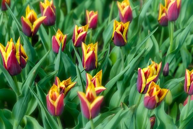 Plantação de campo de tulipa roxa linda. Foto Premium