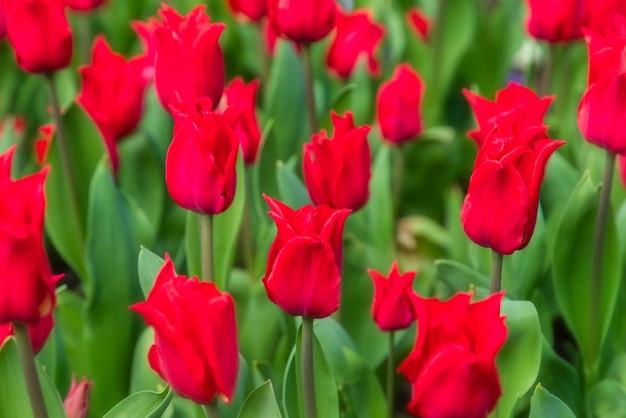 Plantação de campo de tulipa vermelha linda.
