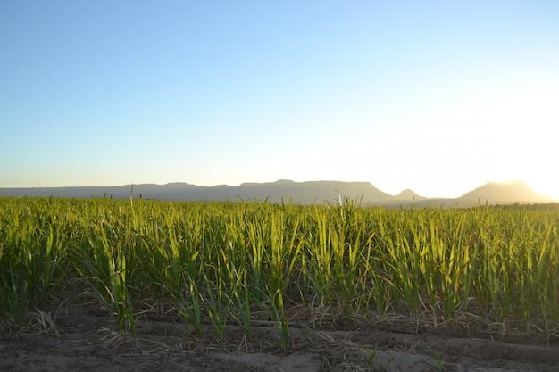 Plantação de cana de açúcar ao nascer do sol