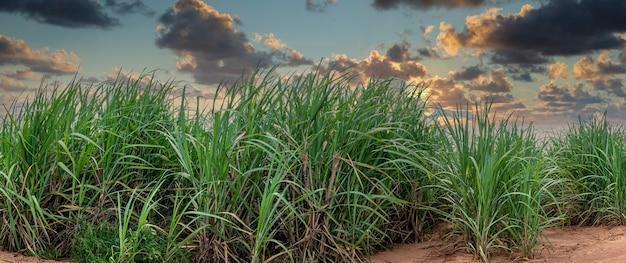Plantação de cana-de-açúcar em um lindo dia.
