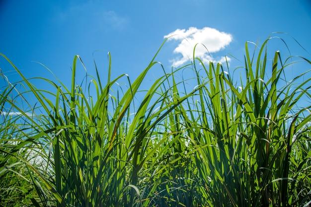 Plantação de cana de açúcar