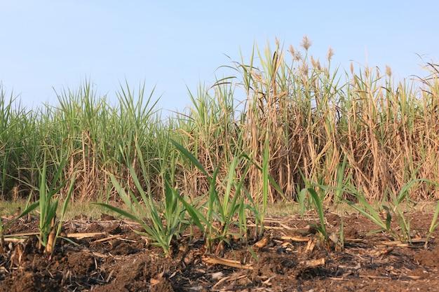 Plantação de cana na tailândia