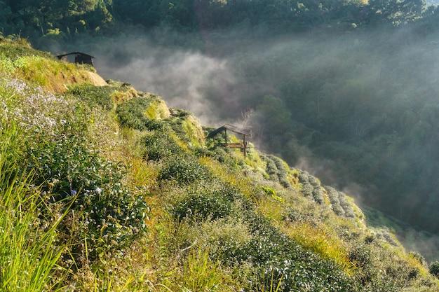Plantação de chá bela paisagem famosa atração turística em doi no doi ang khang, chiang mai tailândia