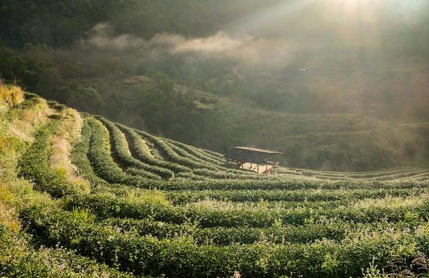 Plantação de chá bela paisagem famosa atração turística
