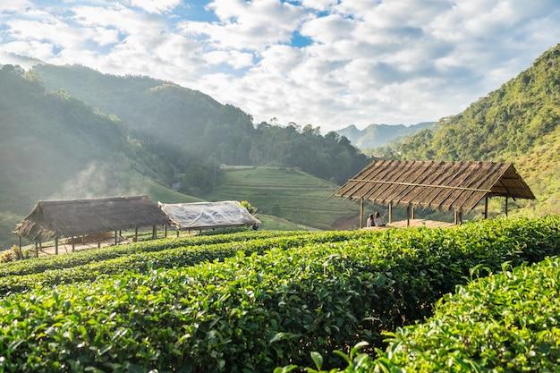 Plantação de chá bonito natural