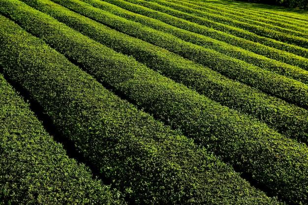 Plantação de chá chá goreana plantação de chá na ilha de são miguel, portugal
