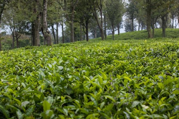 Plantação de chá com folhas verdes frescas