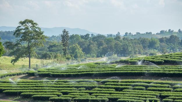 Plantação de chá e aspersão de água.