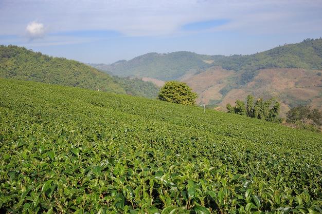 Plantação de chá em mae salong, tailândia do norte.
