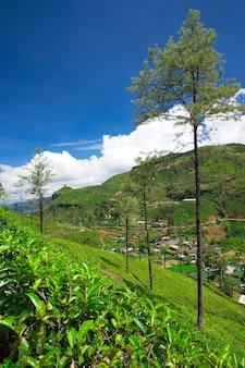 Plantação de chá . fundo da natureza