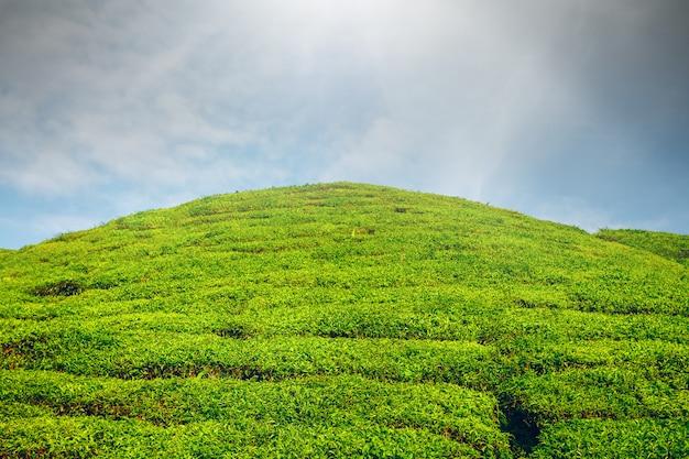 Plantação de chá na malásia