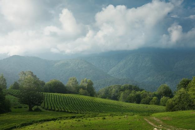 Plantação de chá nas montanhas.