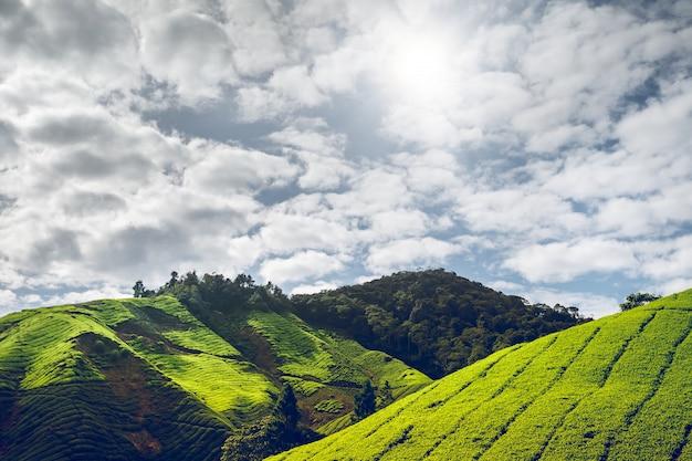 Plantação de chá nas terras altas de cameron