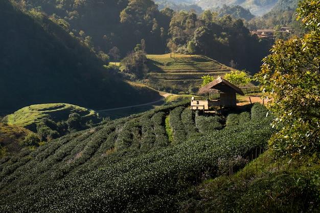 Plantação de chá no doi ang kang