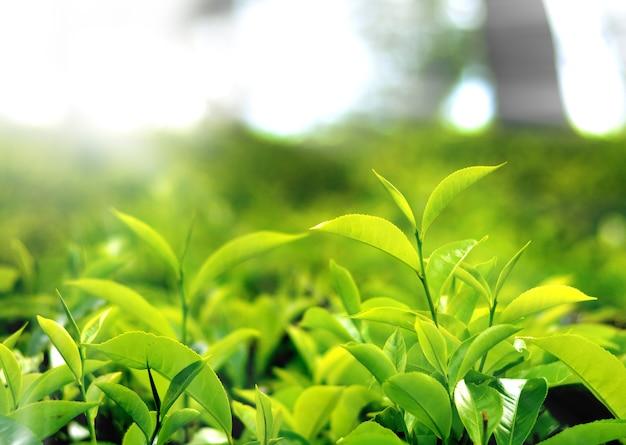 Plantação de chá no interior do sri lanka