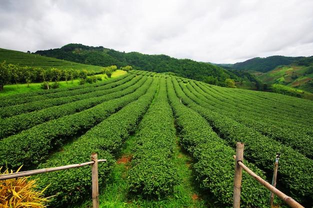 Plantação de chá no nascer do sol na montanha e floresta na temporada de chuva