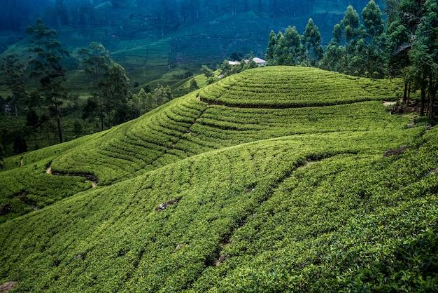 Plantação de chá no sri lanka