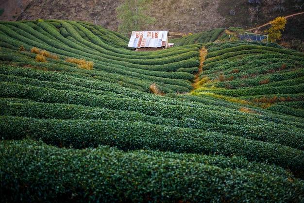 Plantação de chá no terraço, chiang mai, tailândia