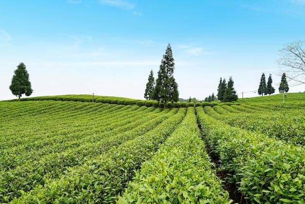 Plantação de chá no topo da montanha