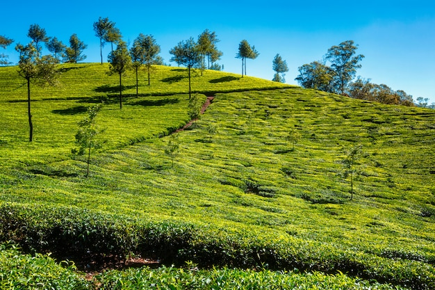 Plantação de chá pela manhã, índia