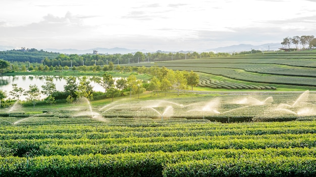 Plantação de chá verde no parque chiang rai de singha, tailândia.